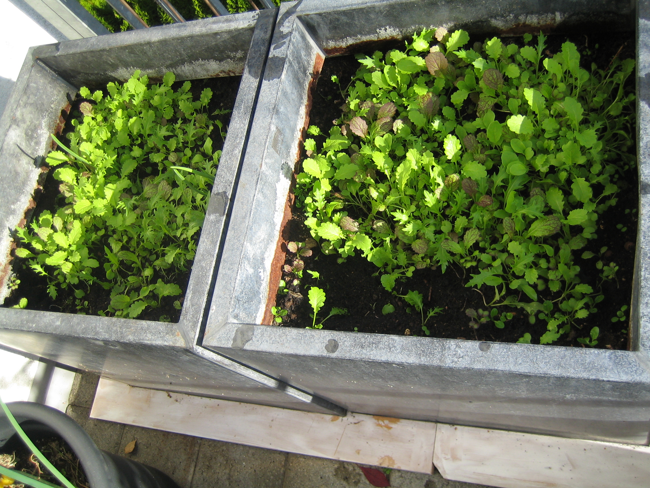 (Deutsch) my urban farming – Wintersalat ahoi