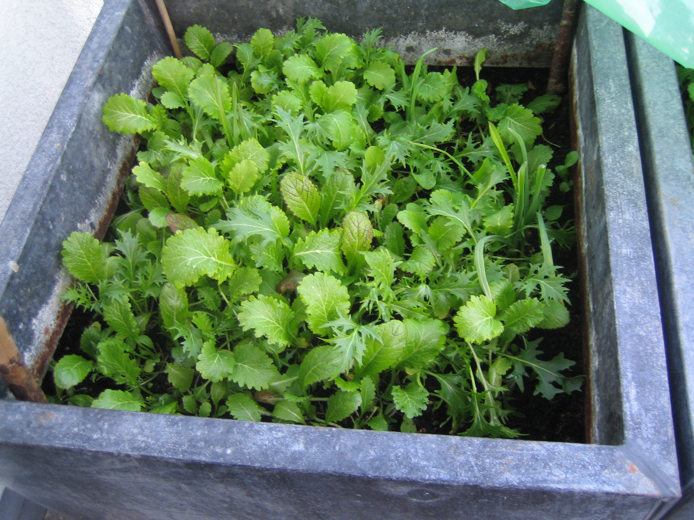 (Deutsch) my urban farming – Wintersalat