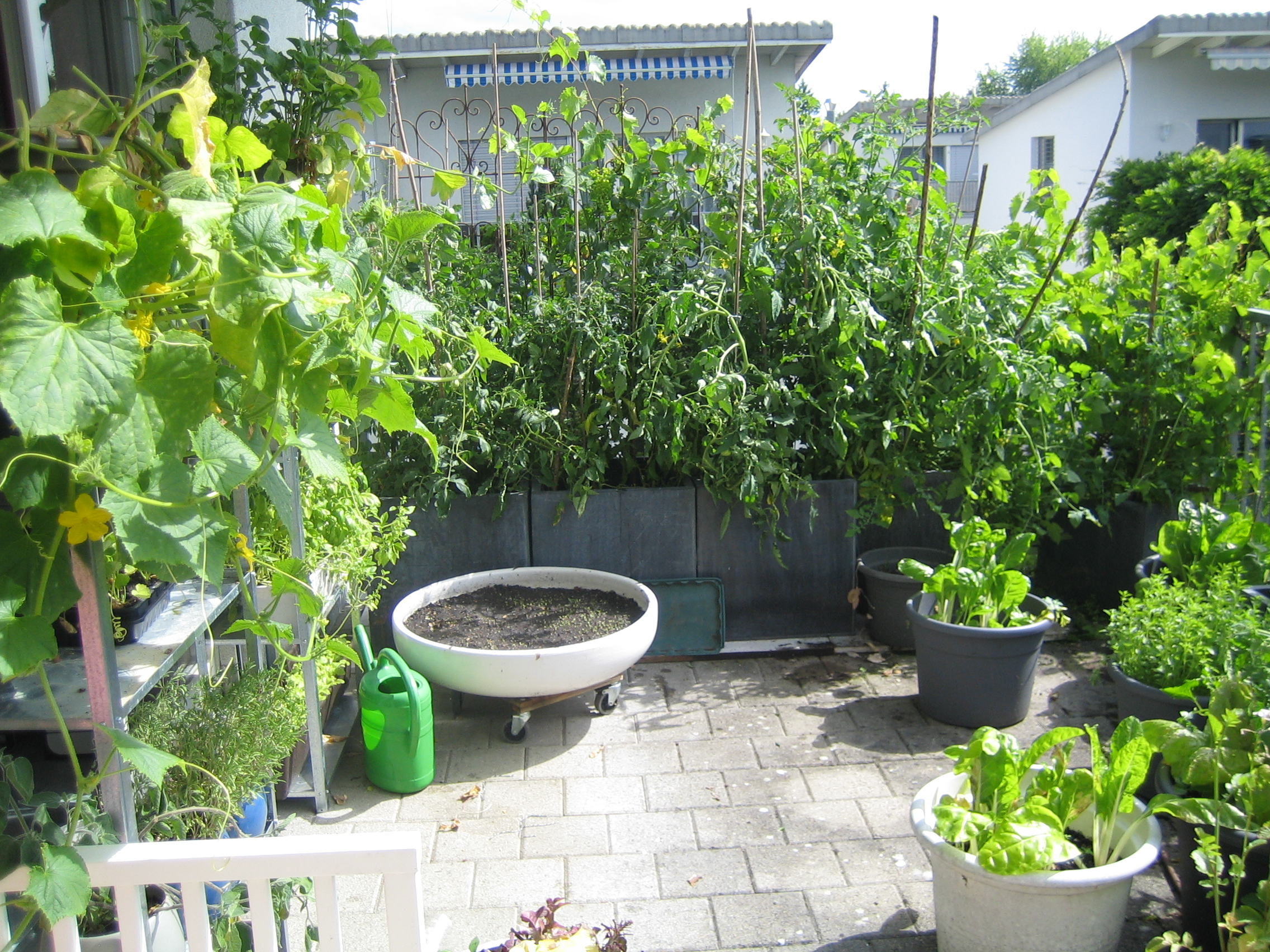 my urban farming – jungle tomatoes again