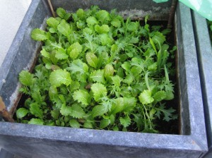 my urban farming – wintersalad
