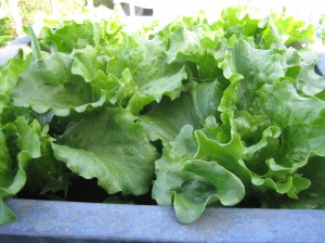 my urban farming – success and failure