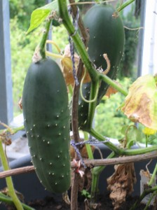 my urban farming – time of the cucumber