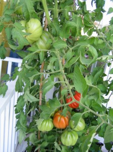 my urban farming – yeah tomatoes!